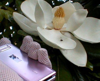 タイサンボクと携帯 2009.6.22
