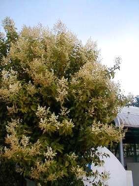 トウネズミモチ樹