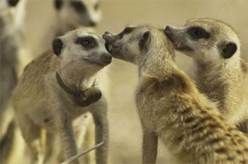 meerkatmanorpremiere.jpg
