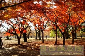 都心の紅葉20101127代々木公園3