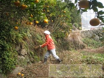 20110206甘夏ミカン草取り2