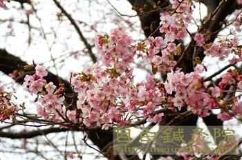 20110206河津桜2