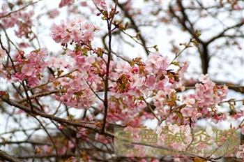 20110206河津桜3