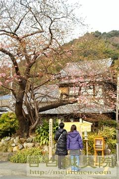 20110206河津桜6