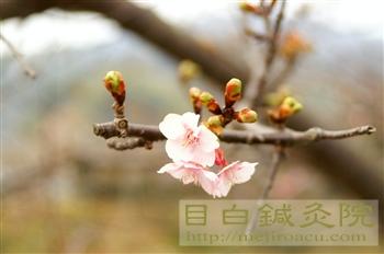 20110206河津桜5