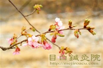 20110206河津桜1