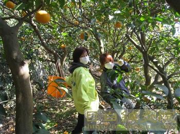 20110306甘夏農作業88
