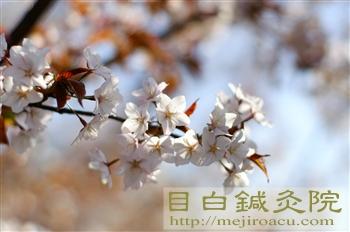 2葉桜20110409