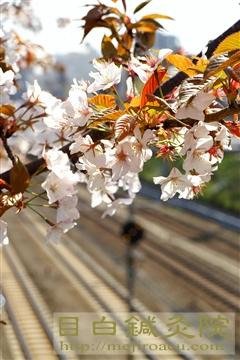 葉桜20110409