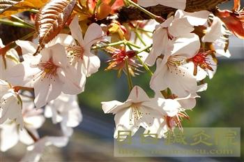 3葉桜20110409