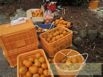 伊豆20110220ミカン畑作業3