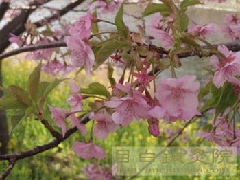 3河津桜20110226