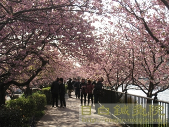 河津桜20110226