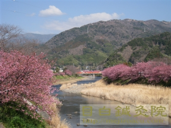 2河津桜20110226