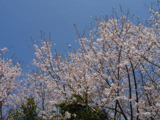 20100410sakura