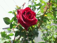 20110502 自宅の赤いバラ