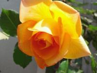 20110509 家のバラ 黄