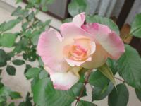 20110505 自宅のバラ 淡いピンク