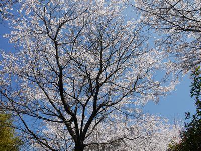 桜景色4月7日NO2