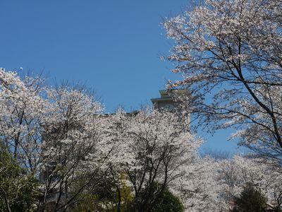 桜景色4月7日NO1