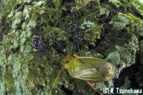 クヌギカメムシを襲うヨコヅナサシガメの幼虫