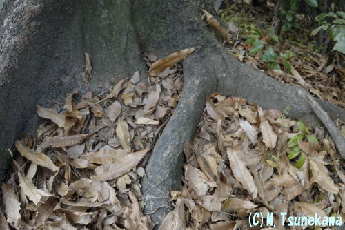 ゴマダラチョウ幼虫の越冬場所