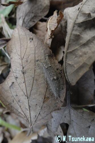 ゴマダラチョウ越冬幼虫