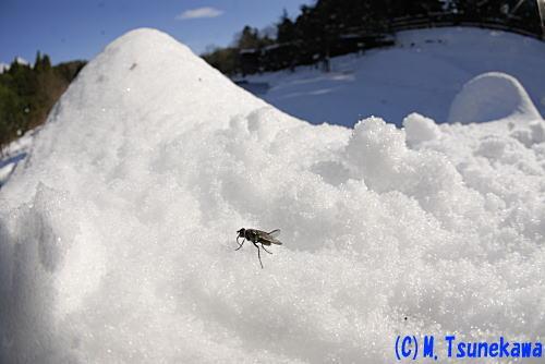 雪の上のハエ