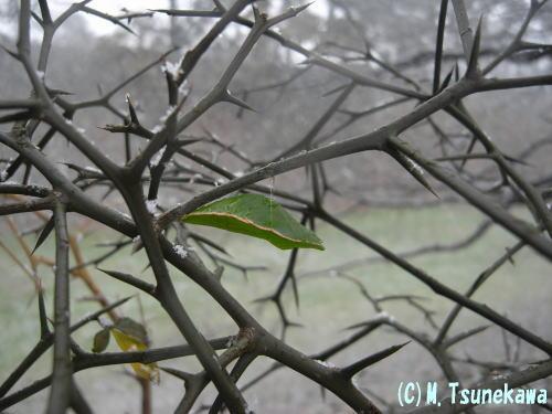 ナミアゲハの蛹