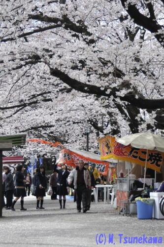 名古屋城の桜1
