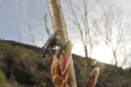 ハバチの産卵2