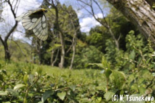 ウスバシロチョウ飛翔1
