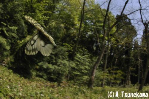 ウスバシロチョウ飛翔2