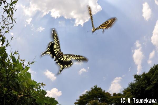 アゲハチョウの求愛