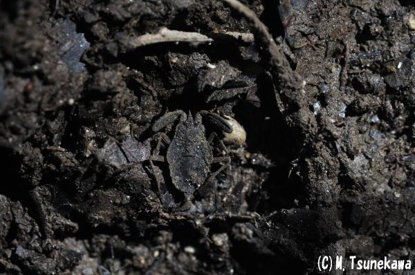 ヒメタイコウチの幼虫