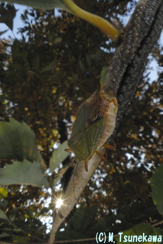 クヌギカメムシの産卵