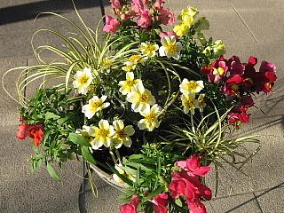 ウインターコスモスと金魚草の寄せ植え