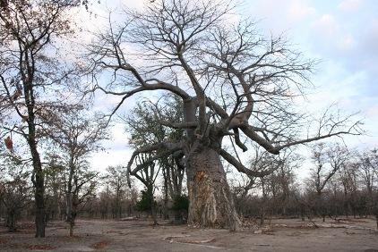 バオバブの木(リウォンデ国立公園)