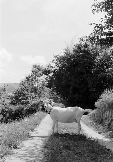 goat1year