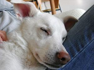 膝で寝るピクシィ