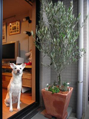 オリーブの木 トム