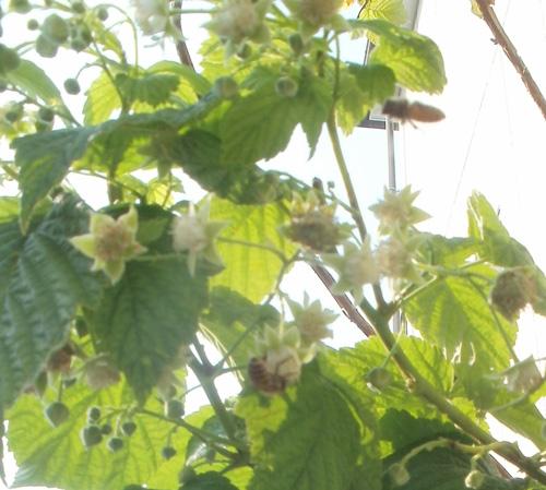 ハチとラズベリー