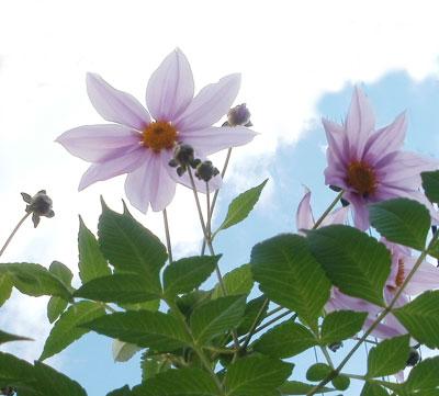 皇帝ダリアの花