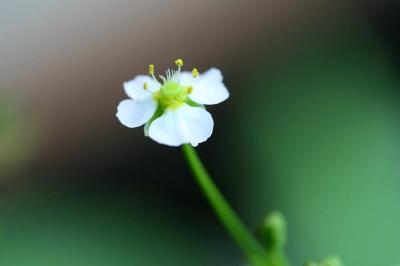 サジオモダカの花が咲きました