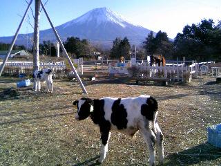 富士山と子牛②