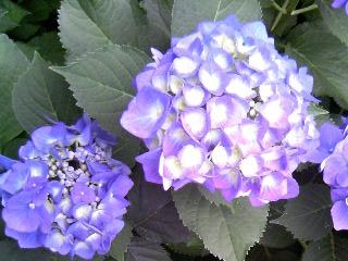 庭のアジサイ