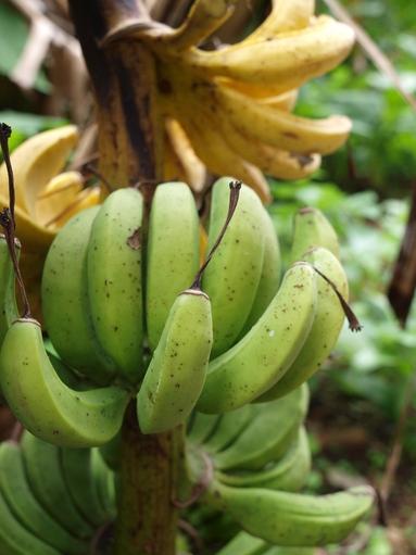 懲りずにトカラに行きました(9) -島バナナ-