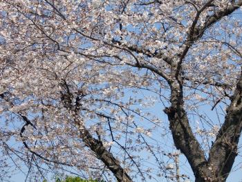 名古屋の桜