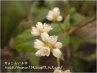 マクロ<ペルシカリアのお花>