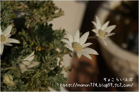 フランネルフラワー<フェアリーホワイト>2